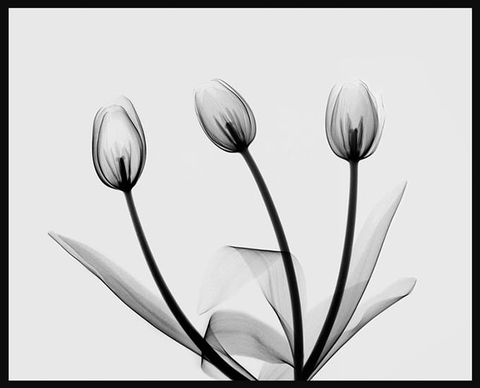 Jacqui-Tulips-72