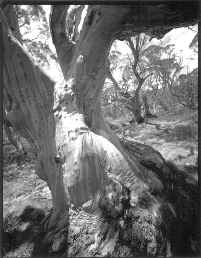Views of Snow Gums, number 11