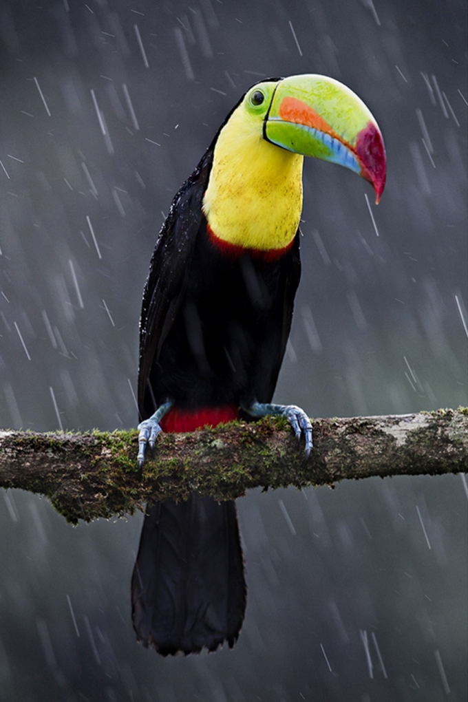 Toucan in the rain