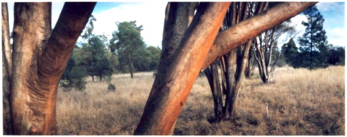 Myall-trees-pano