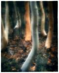 Myall-Trees